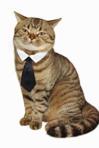 Hintergrundbilder Katze Kreativ Weißer hintergrund Krawatte Sitzend Lustige Tiere