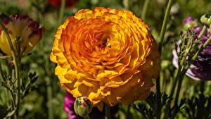 Fotos Hahnenfuß Nahaufnahme Gelb Blumen
