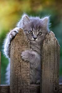 Papel de Parede Desktop Gatos Cinza Cerca Pata Ver Animalia