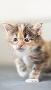 Fotos Hauskatze Mancoon Kätzchen