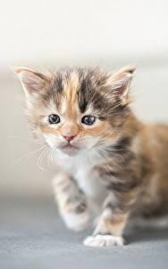 Fotos Hauskatze Mancoon Kätzchen ein Tier