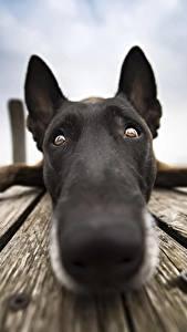 Bilder Hund Hautnah Nase Schnauze Starren Belgischer Schäferhund ein Tier