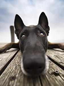 Bilder Hund Hautnah Nase Schnauze Blick Belgischer Schäferhund Tiere