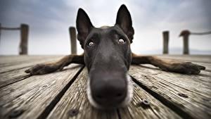 Wallpaper Dogs Closeup Nose Snout Glance Belgian Shepherd Animals
