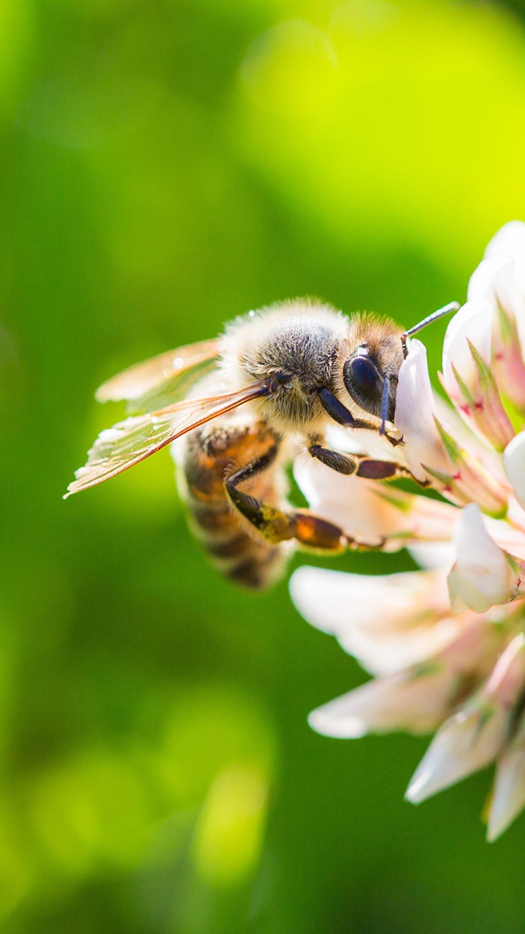Fotos Bienen Bokeh Tiere hautnah 1080x1920 für Handy unscharfer Hintergrund ein Tier Nahaufnahme Großansicht