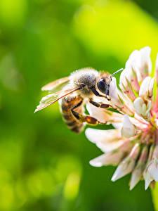 Hintergrundbilder Bienen Hautnah Unscharfer Hintergrund ein Tier