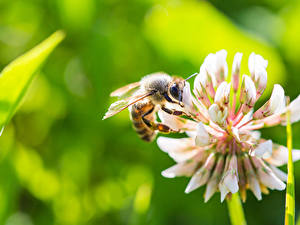 Desktop hintergrundbilder Bienen Hautnah Unscharfer Hintergrund ein Tier