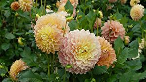 Fotos Georginen Hautnah Blüte