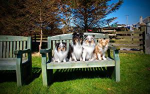 Bilder Hunde Bank (Möbel) Collie Sitzend Tiere