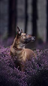 Wallpaper Dogs Shepherd Belgian Shepherd Malinois Animals