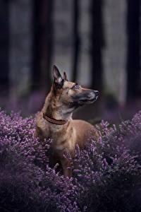 Wallpaper Dogs Shepherd Belgian Shepherd Malinois Animals