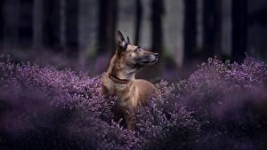 Bilder Hunde Shepherd Belgischer Schäferhund Malinois Tiere
