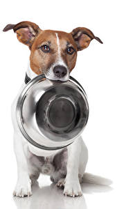 Picture Dogs White background Jack Russell terrier Plate Bowl Animals