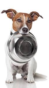Bilder Hunde Weißer hintergrund Jack Russell Terrier Teller Schüssel Tiere