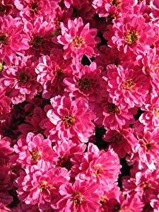 Bilder Chrysanthemen Viel Großansicht Rosa Farbe Blumen