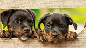 Picture Dog Rottweiler Boards 2 Puppies Paws Snout Glance Animals