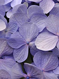 Bilder Hortensien Makrofotografie Nahaufnahme Violett Blumen