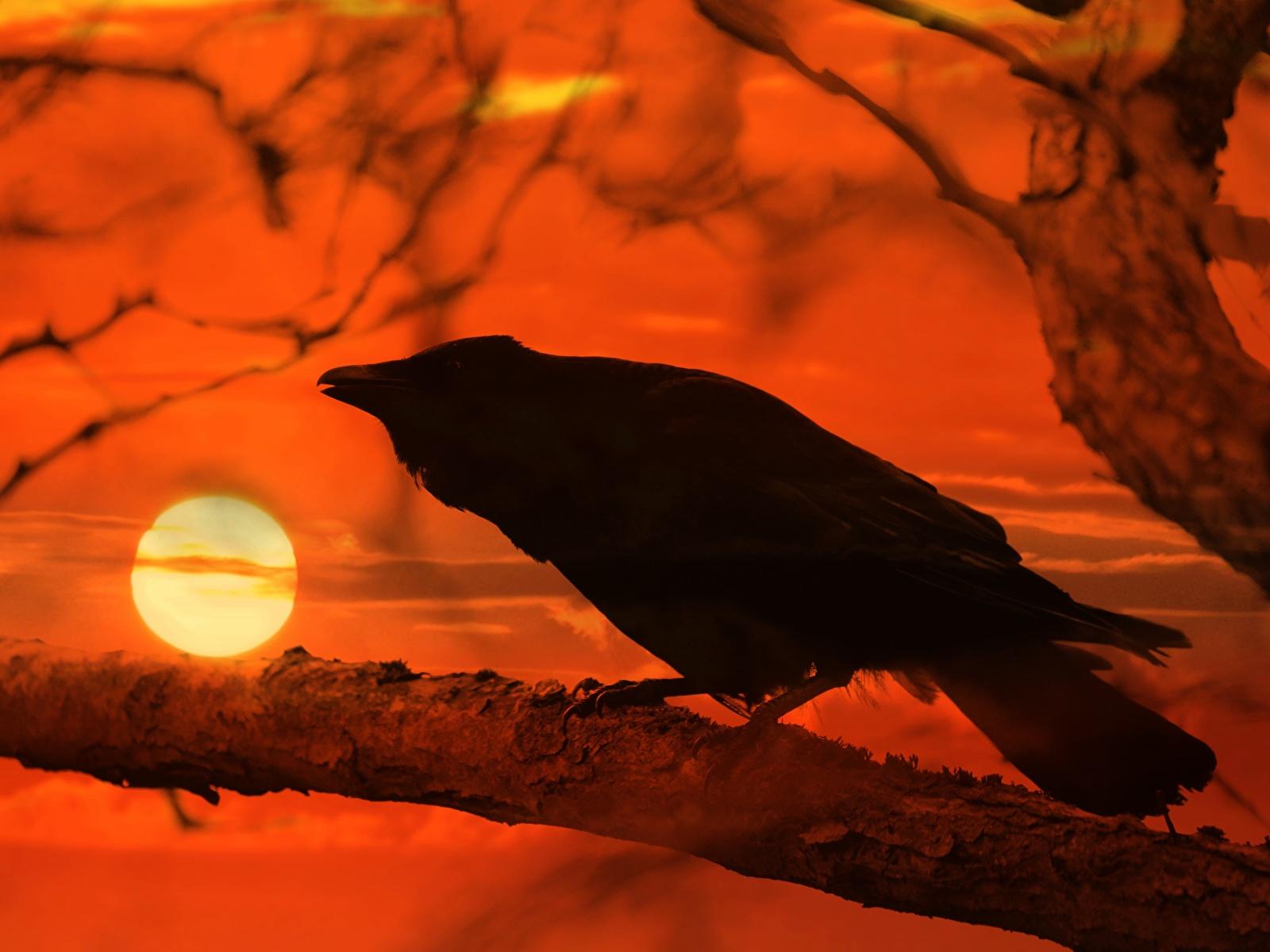 Bilder von Aaskrähe Sonne Sonnenaufgänge und Sonnenuntergänge Ast Tiere 1600x1200