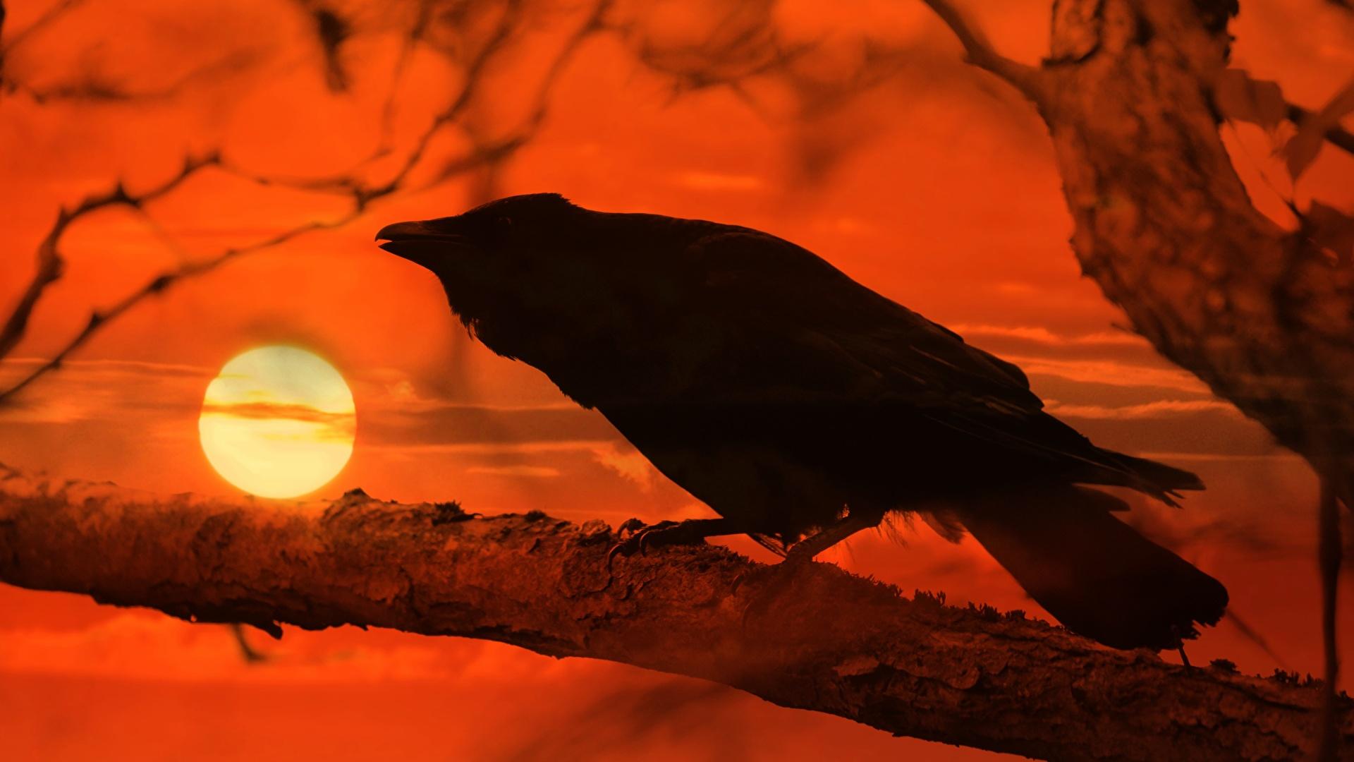 Bilder von Aaskrähe Sonne Sonnenaufgänge und Sonnenuntergänge Ast ein Tier 1920x1080 Tiere