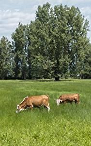 Bilder Grünland Kuh Sommer Gras 2 Bäume Tiere