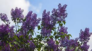 Bilder Syringa Ast Blumen
