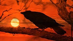 Fotos Sonnenaufgänge und Sonnenuntergänge Aaskrähe Ast Sonne Tiere
