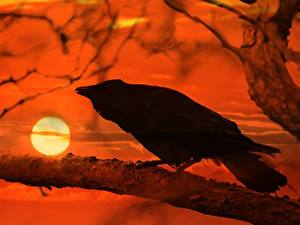 Wallpapers Sunrises and sunsets Crows Branches Sun animal