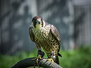 Hintergrundbilder Vögel Falken Blick ein Tier