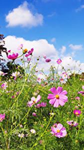 Hintergrundbilder Kosmeen Grünland Gras