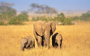 Bilder Elefanten Jungtiere Drei 3