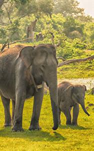 Fotos Sri Lanka Park Elefanten Jungtiere Zwei Gras Yala National Park Tiere