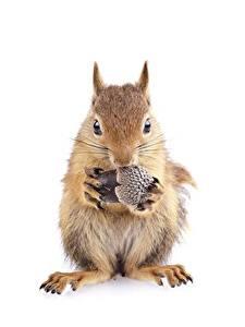 Desktop hintergrundbilder Hörnchen Weißer hintergrund Vorne Pfote Eicheln ein Tier