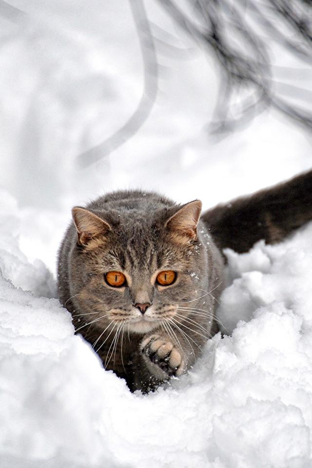 Fotos Hauskatze Grau Schnee Tiere 640x960 für Handy Katze Katzen graue graues ein Tier