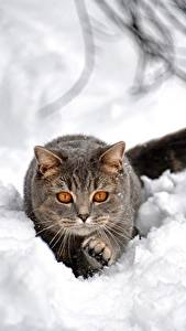 Wallpapers Cats Snow Grey Animals