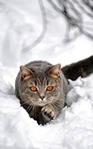 デスクトップの壁紙、、飼い猫、雪、灰色、動物