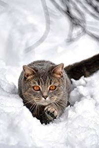 Papel de Parede Desktop Gatos Neve Cinza Animalia