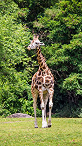 Photo Parks Giraffes Animals