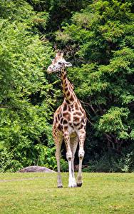 Hintergrundbilder Park Giraffe Tiere