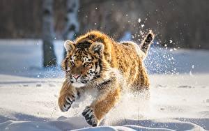 Hintergrundbilder Tiger Jungtiere Schnee Laufsport Tiere