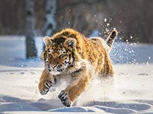 Hintergrundbilder Tiger Jungtiere Schnee Laufsport