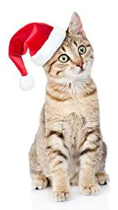 Picture Cats Christmas Winter hat Sitting White background Staring Animals