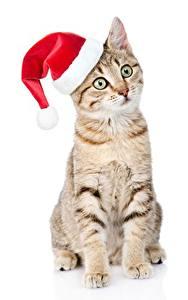 Bilder Katze Neujahr Mütze Sitzend Weißer hintergrund Starren ein Tier