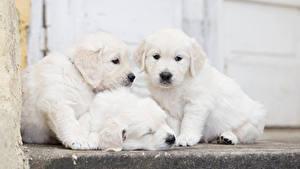 Hintergrundbilder Hunde Golden Retriever Drei 3 Welpen Weiß