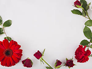 Bilder Gerbera Rosen Nelken Grauer Hintergrund Rot Blumen