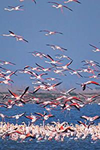 Fotos Flamingos Viel Wasser Flug ein Tier