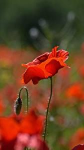 Bureaubladachtergronden Close-up Klaproos Onscherpe achtergrond Bloemknop Rood bloem