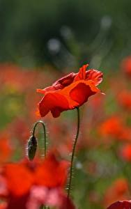 Desktop hintergrundbilder Nahaufnahme Mohn Unscharfer Hintergrund Knospe Rot Blüte