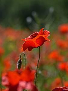 Bakgrunnsbilder Nærbilde Valmuer Uklar bakgrunn Blomst knopp Rød blomst