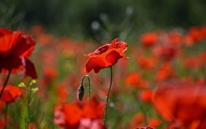 Fotos Nahaufnahme Mohn Unscharfer Hintergrund Knospe Rot Blüte