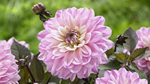 Bilder Dahlien Großansicht Rosa Farbe Blumen